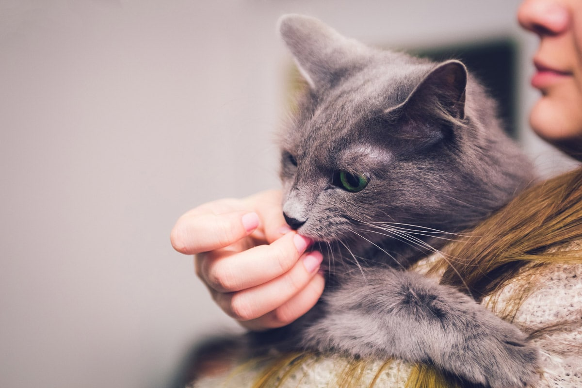 grey cat eating woman's fingers