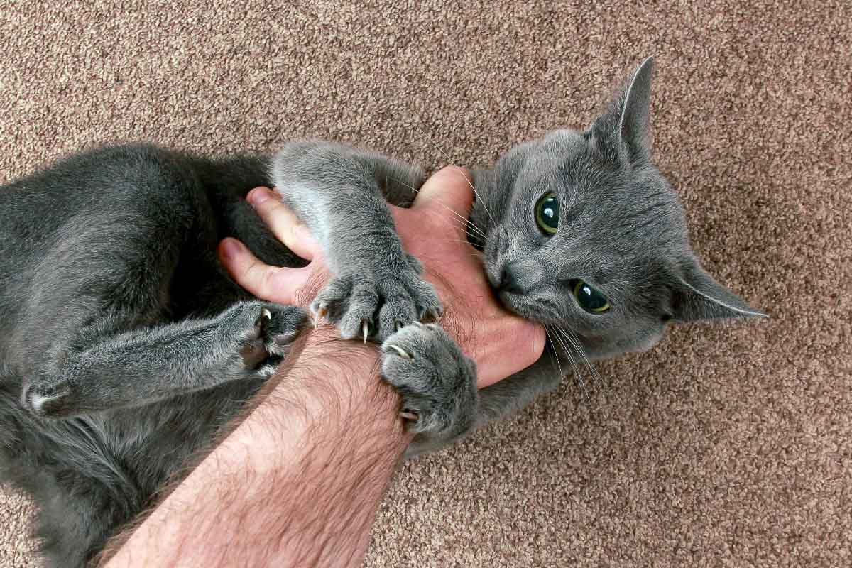 grey cat grabbing human hand with mouth and paws