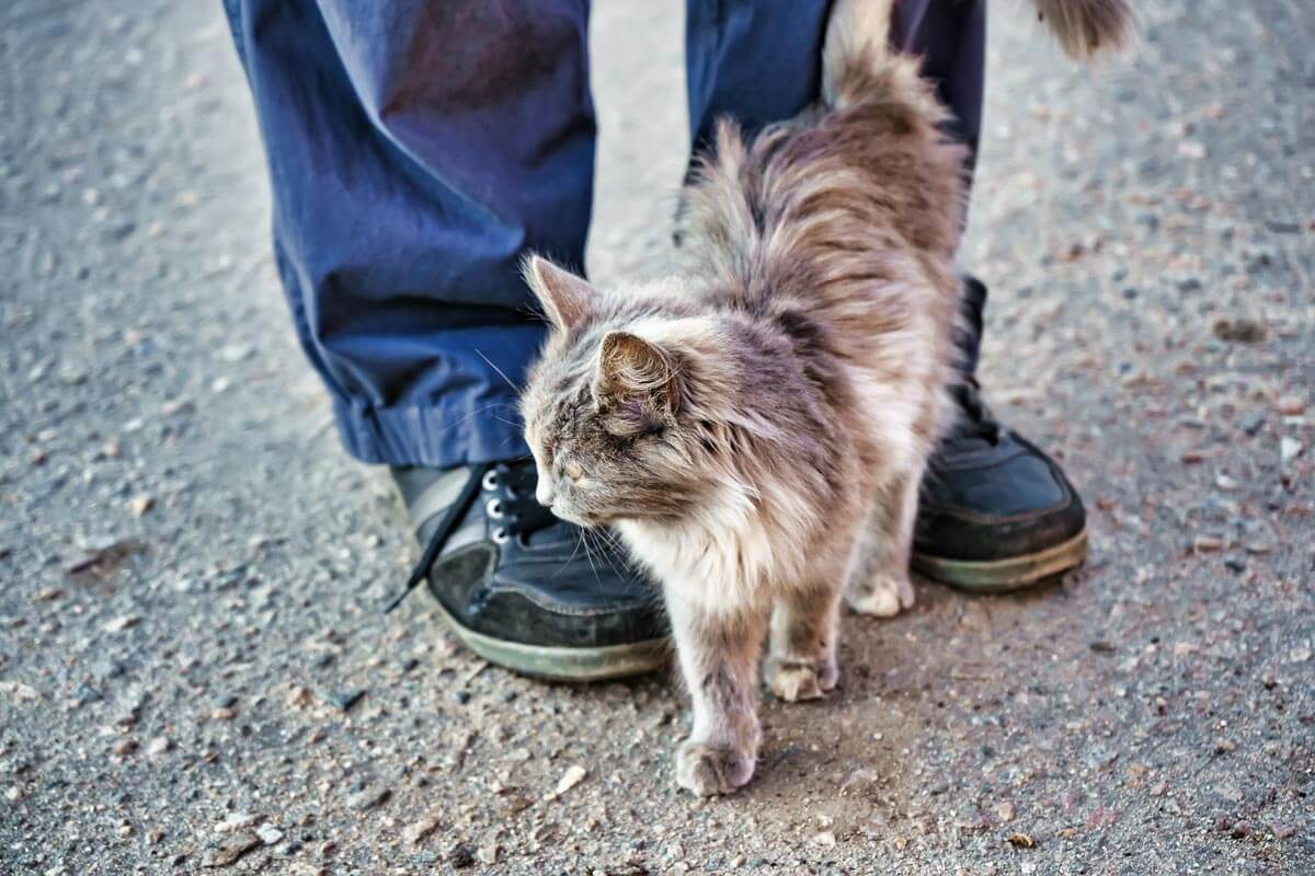 Gray stray fluffy cat rubs rubs against the legs of a man