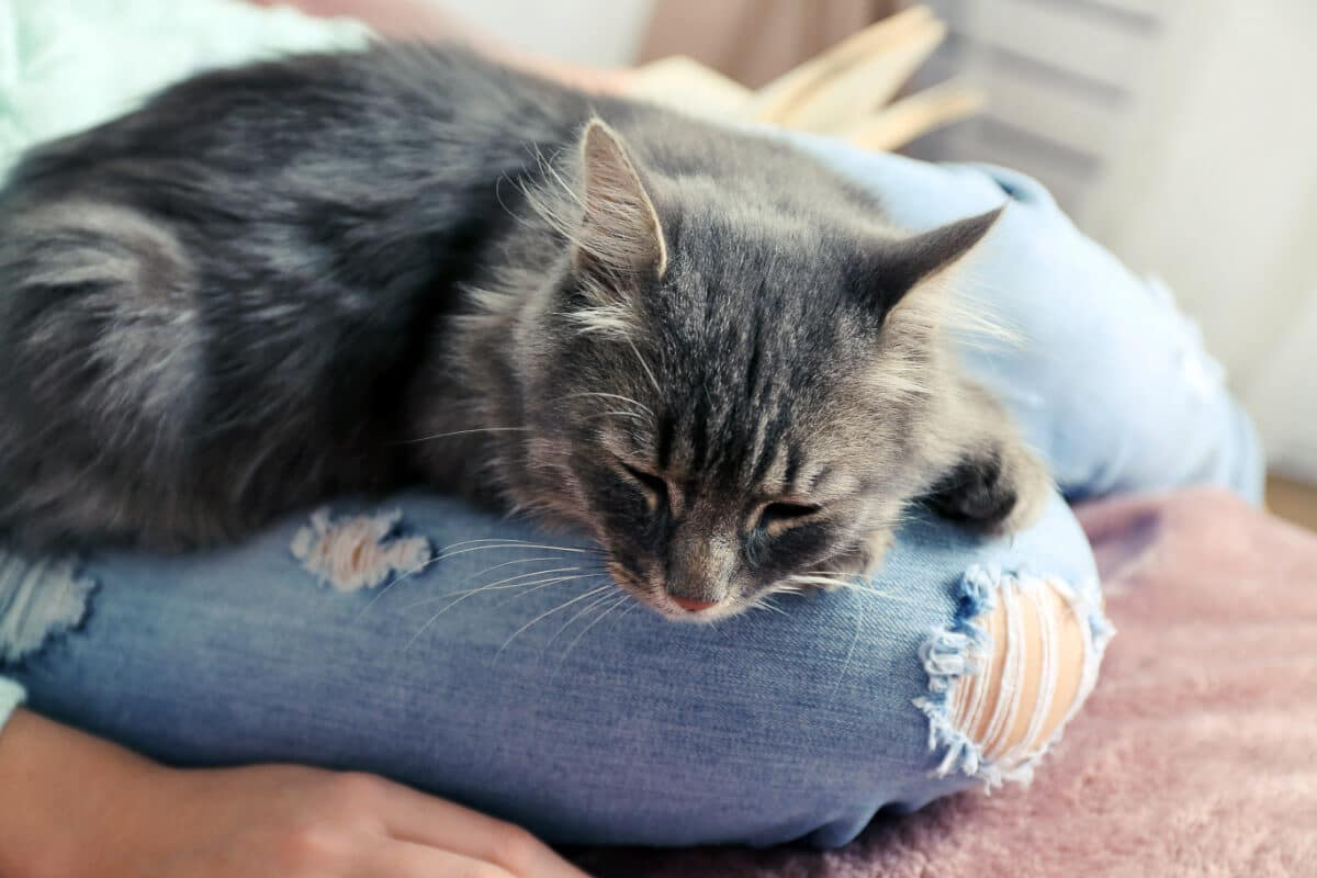 grey cat sits on person's lap wearing jeans with holes