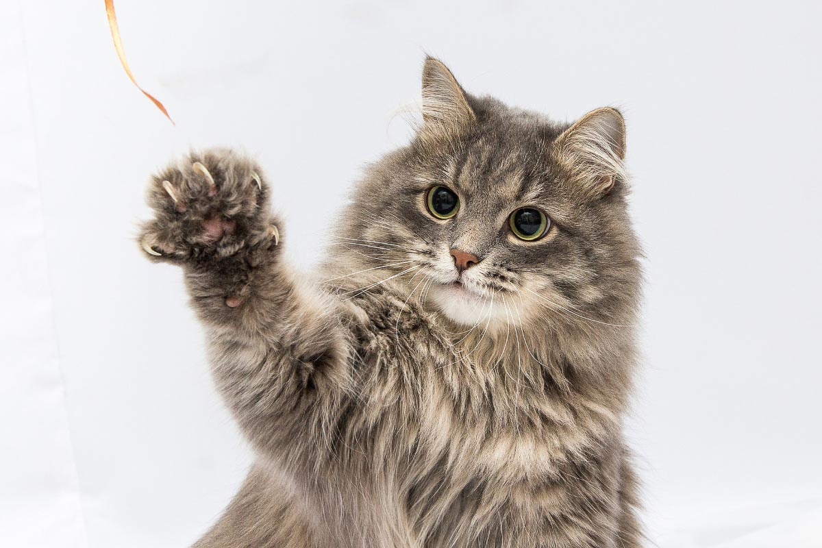 grey cat with paw up