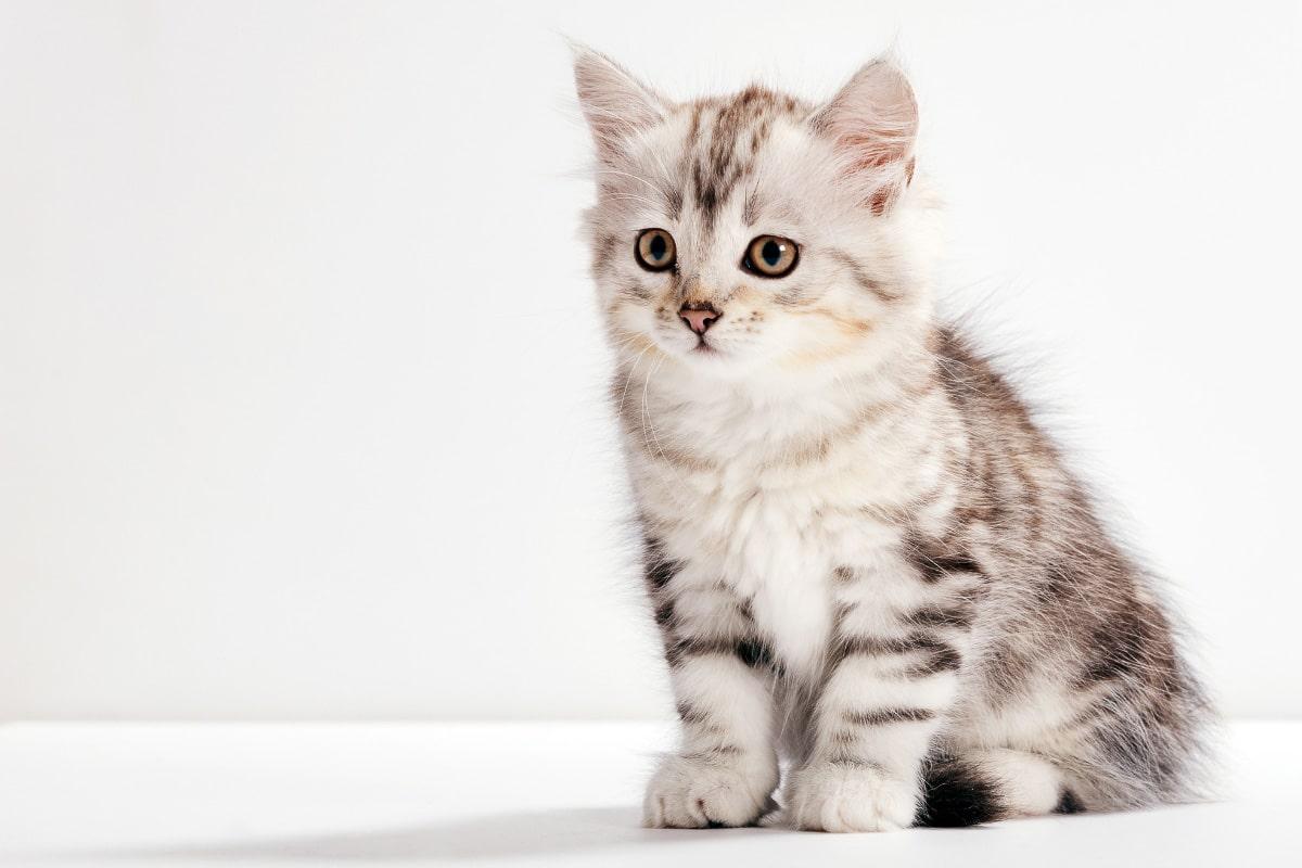 grey siberian kitten