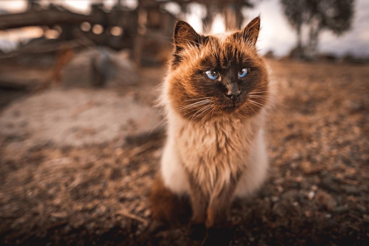 himalayan cat with dark coat