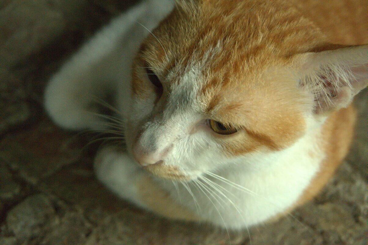 Javanese cat's face
