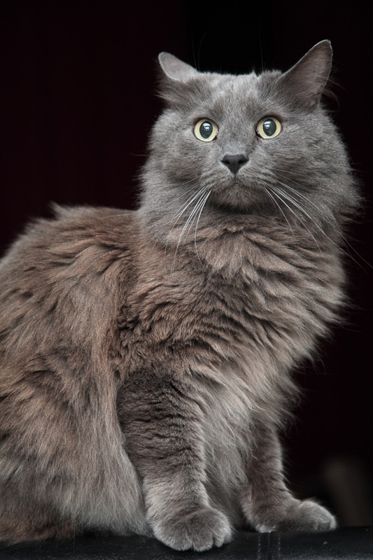 nebelung cat breed portrait