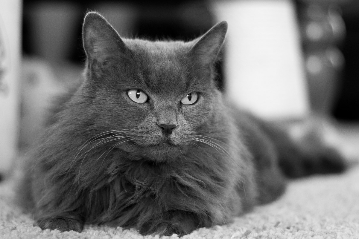 nebelung cat grey one of the grey cat breeds