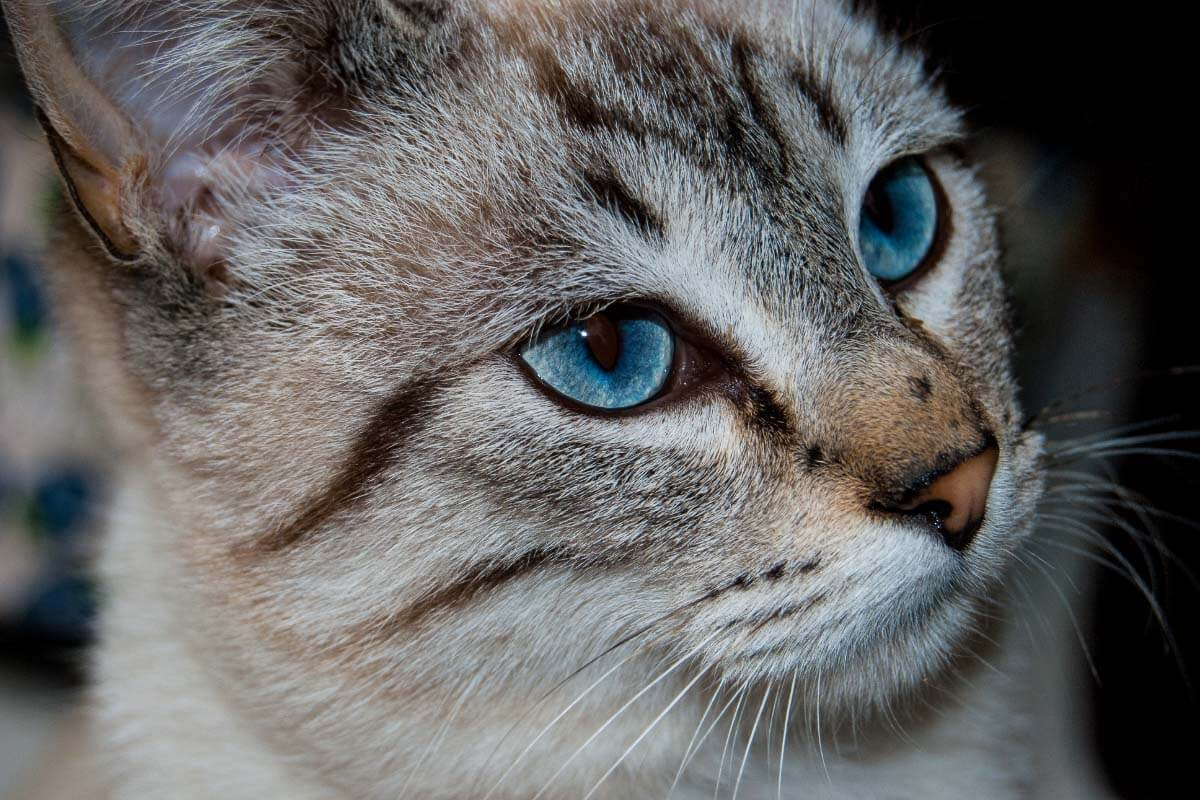 ojos azules cat one of the blue eyed cat breeds