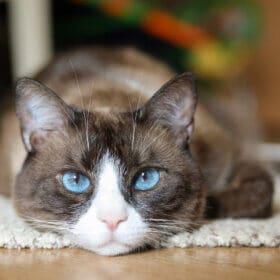 snowshoe cat 1