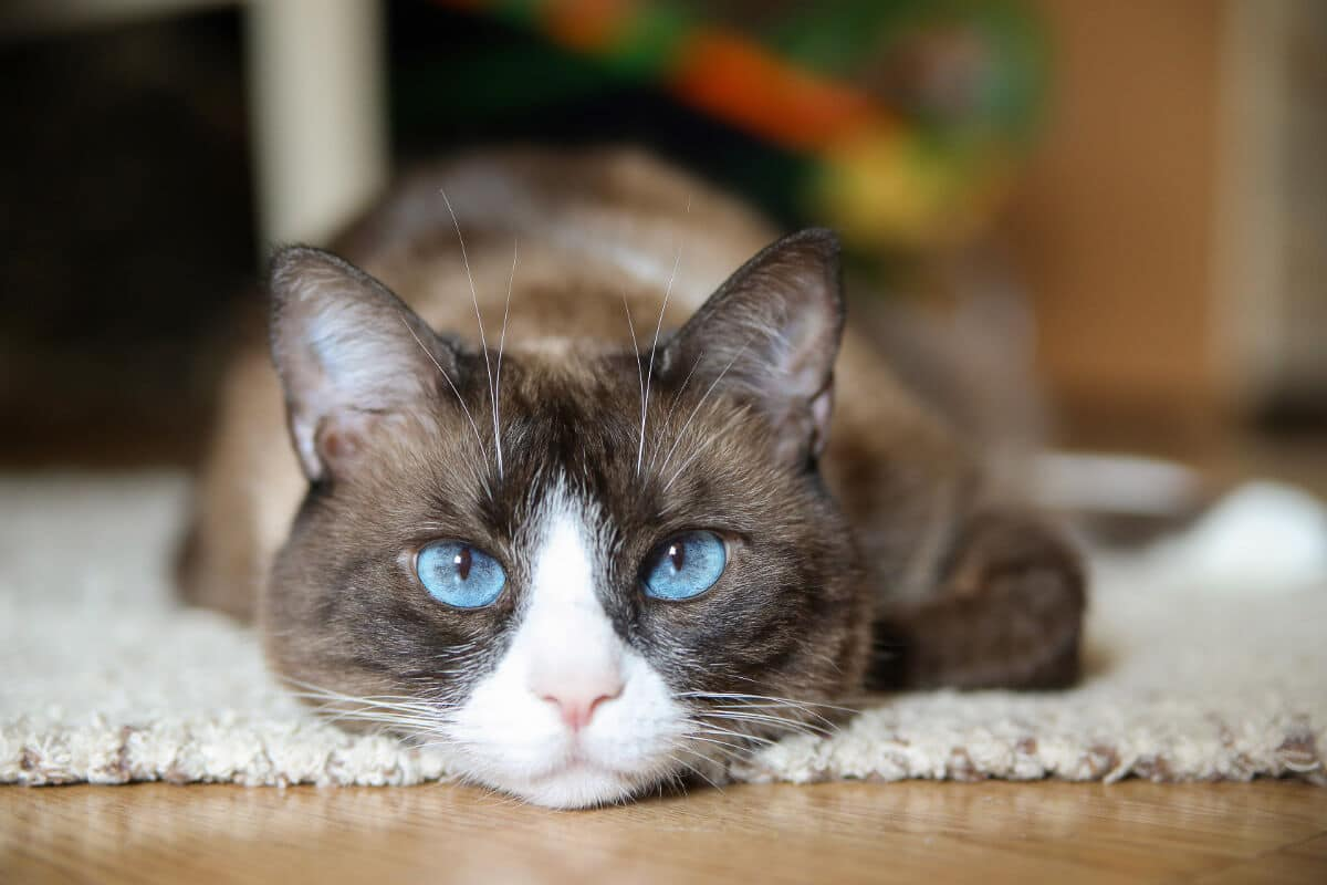 11 Blue Eyed Cat Breeds