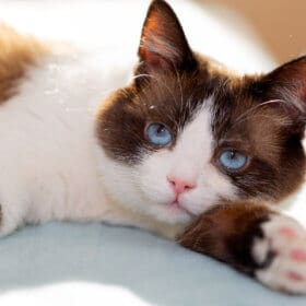 snowshoe cat one of the blue eyed cat breeds