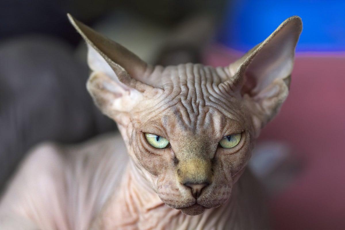 sphynx cat grey