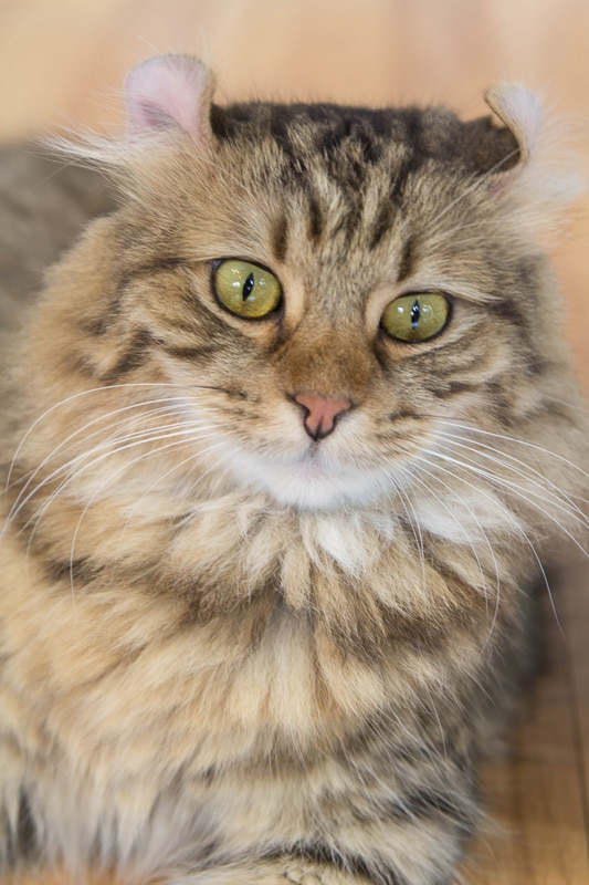 tabby cat personality american curl
