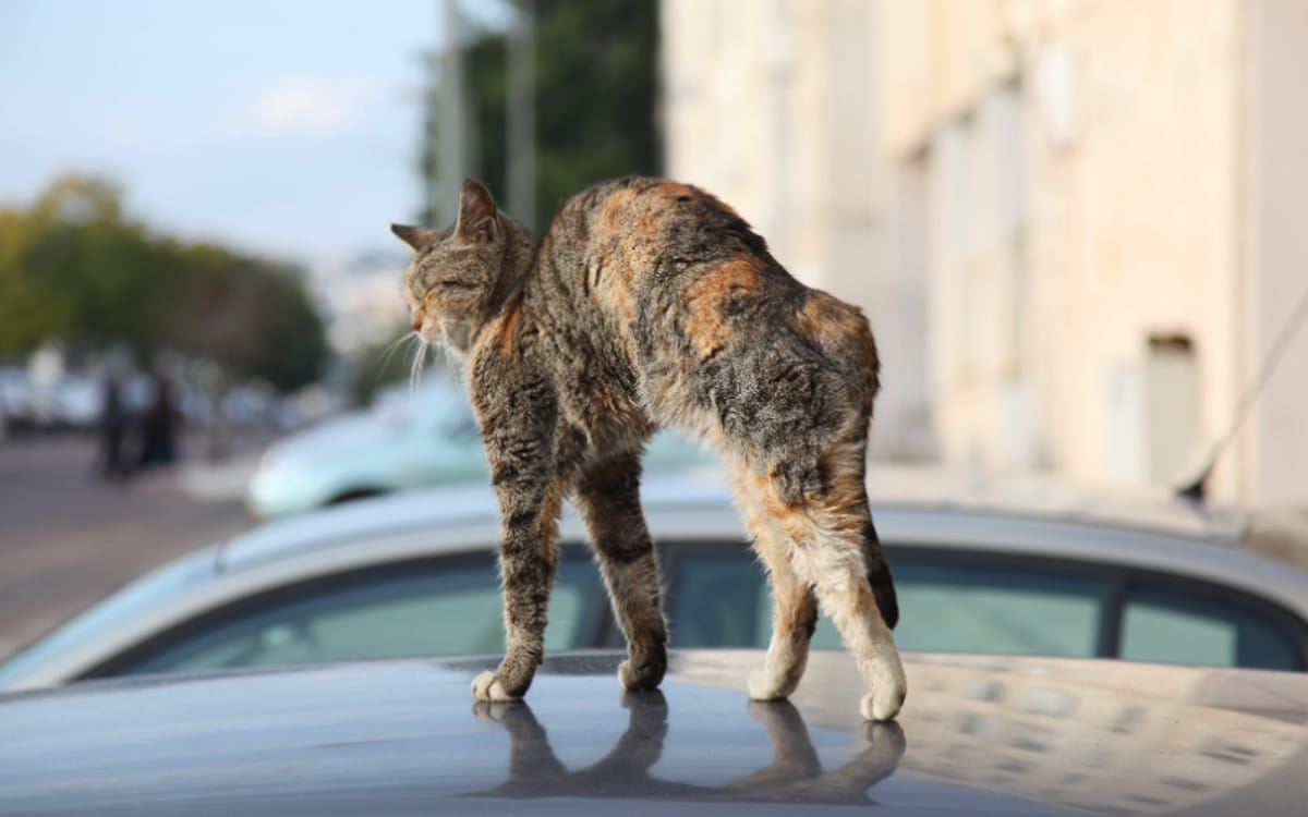 tabby cat arches back on top of car why do cats arch their back