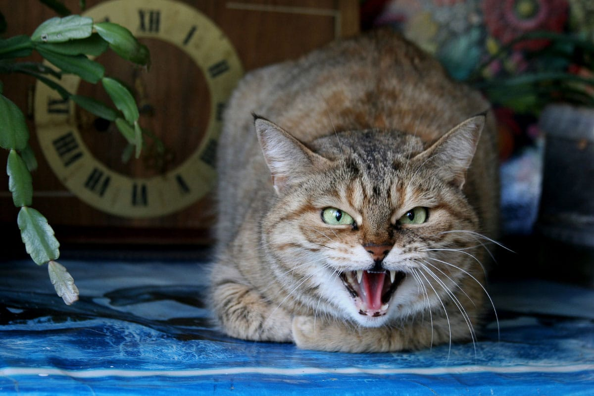 Why Do Cats Growl? Understanding Ferocious Kitty Behavior