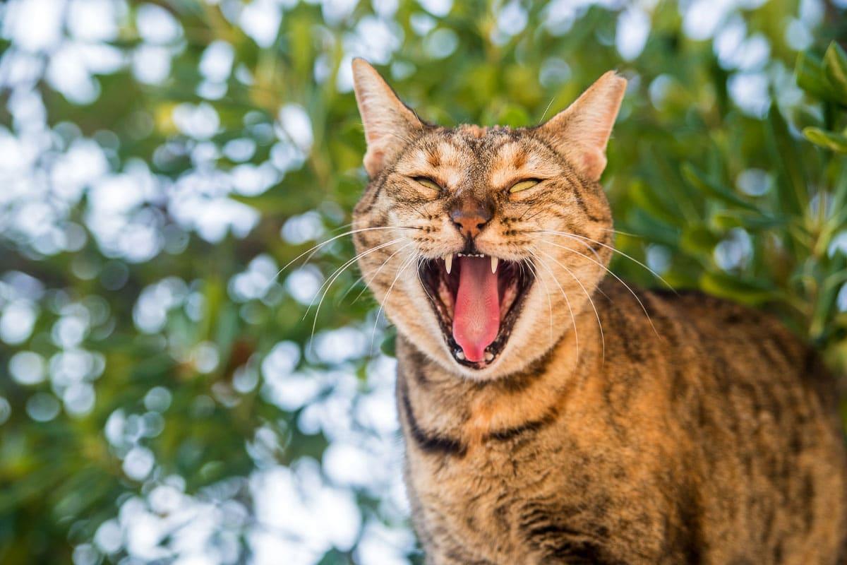 tabby cat growling 2