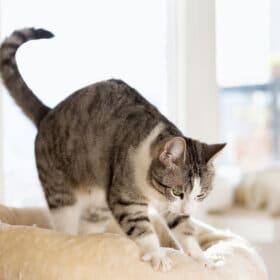 tabby cat kneads beige cat bed