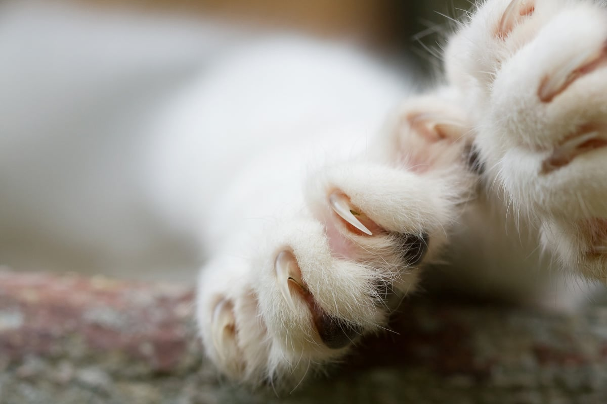 white cat's claws up close