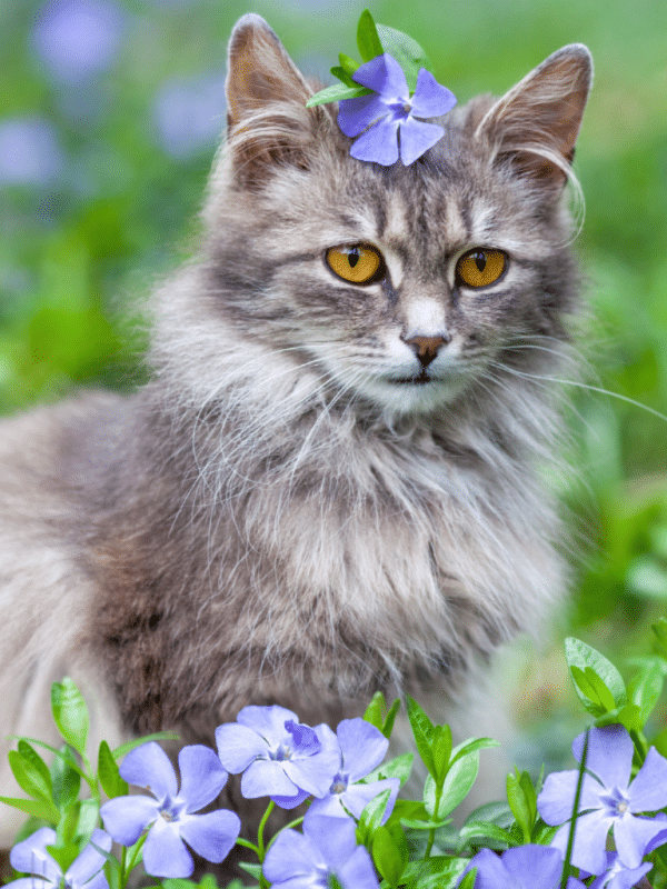 white and grey cat in garden with purple flowers grey cat breeds