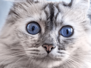 white and grey american curl cat with blue eyes small cat breeds