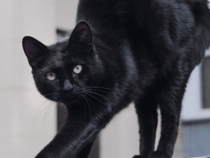 stories black cat with arched back