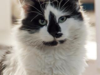 Stories Tuxedo Cat