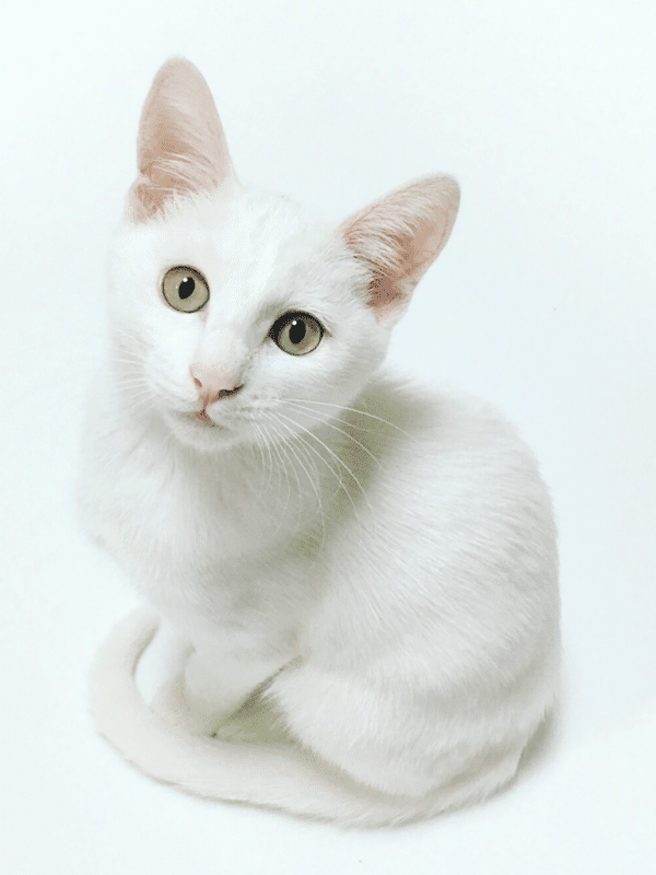white cat curled up on white background