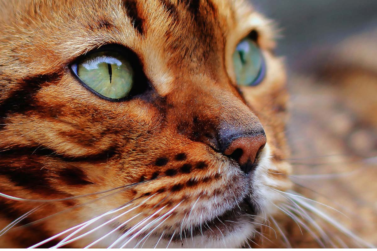 bengal cat ginger