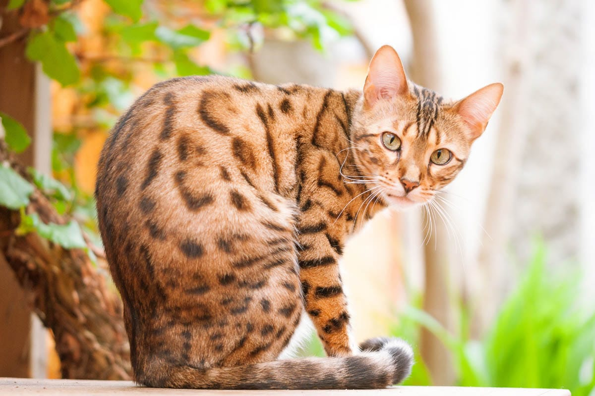 bengal cat outside bengal cat names