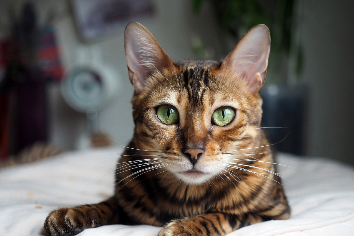 bengal cat with green eyes stares at camera