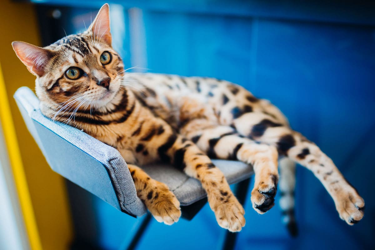 bengal cat sits on stool