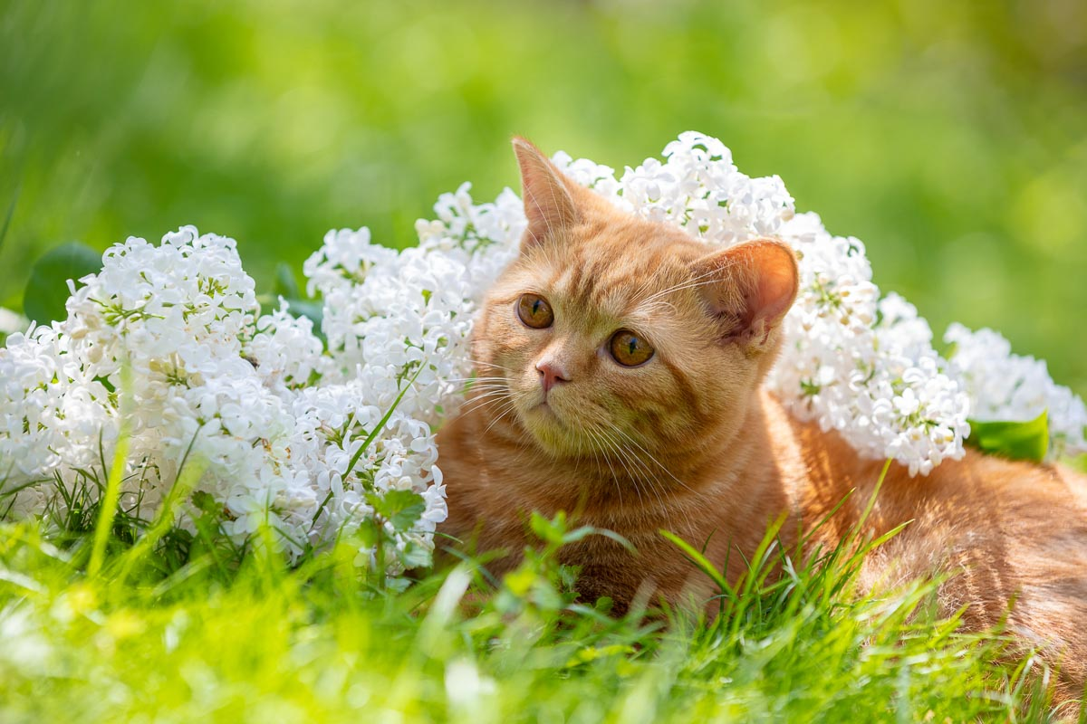 Cute ginger cat relaxing on the grass with white lilac flowers