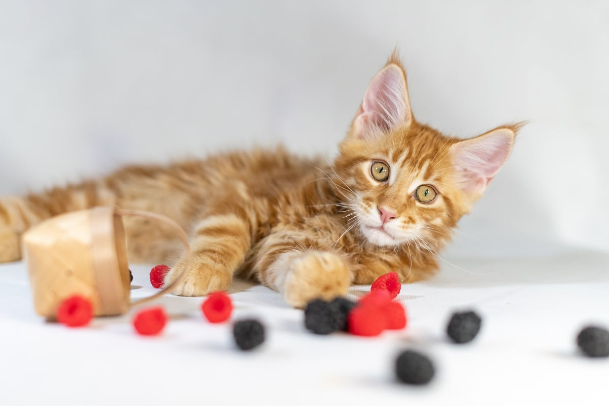 ginger maine coon cat with fruit