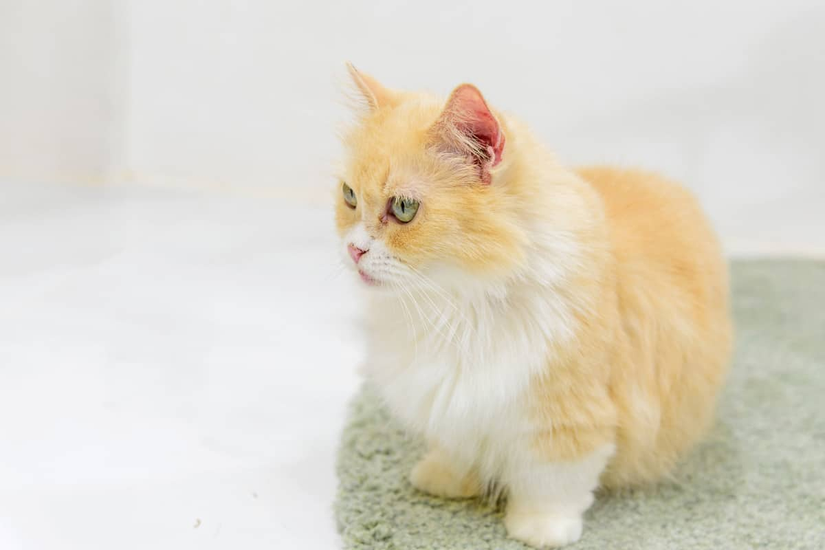 ginger munchkin kitty