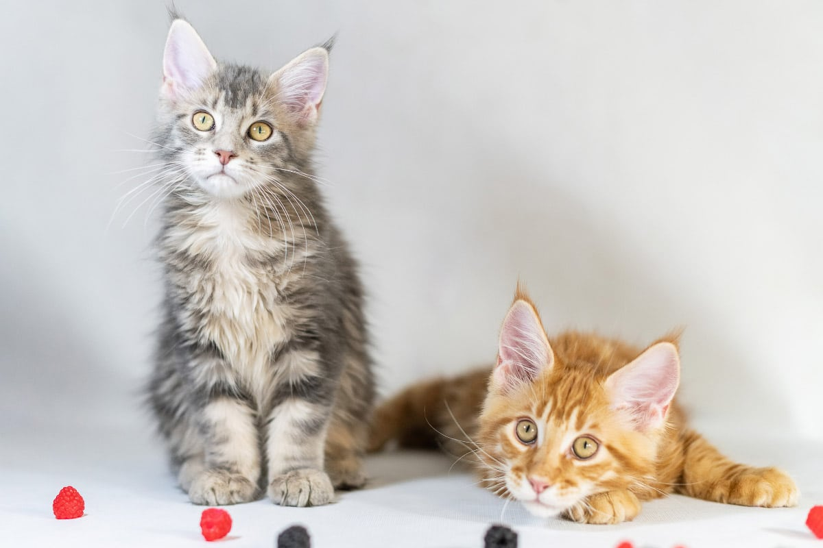 grey and ginger maine coon kittens with some fruit