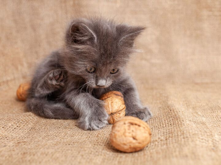 grey kitten playing with nuts
