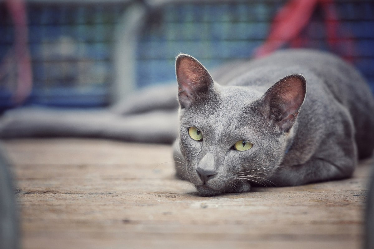 grey siamese cat