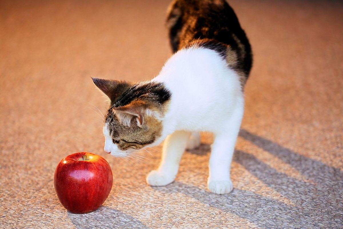 kitten sniffs apple