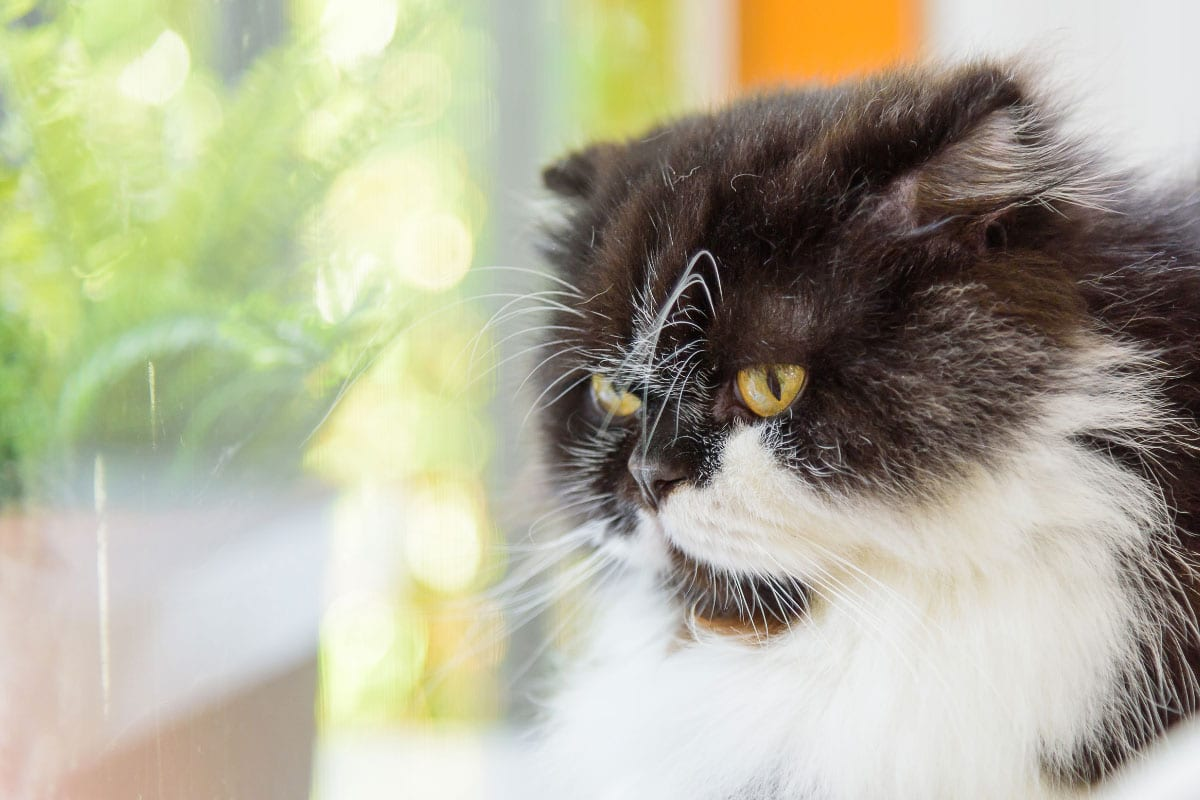 munchkin cat tuxedo