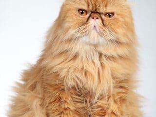persian cat ginger