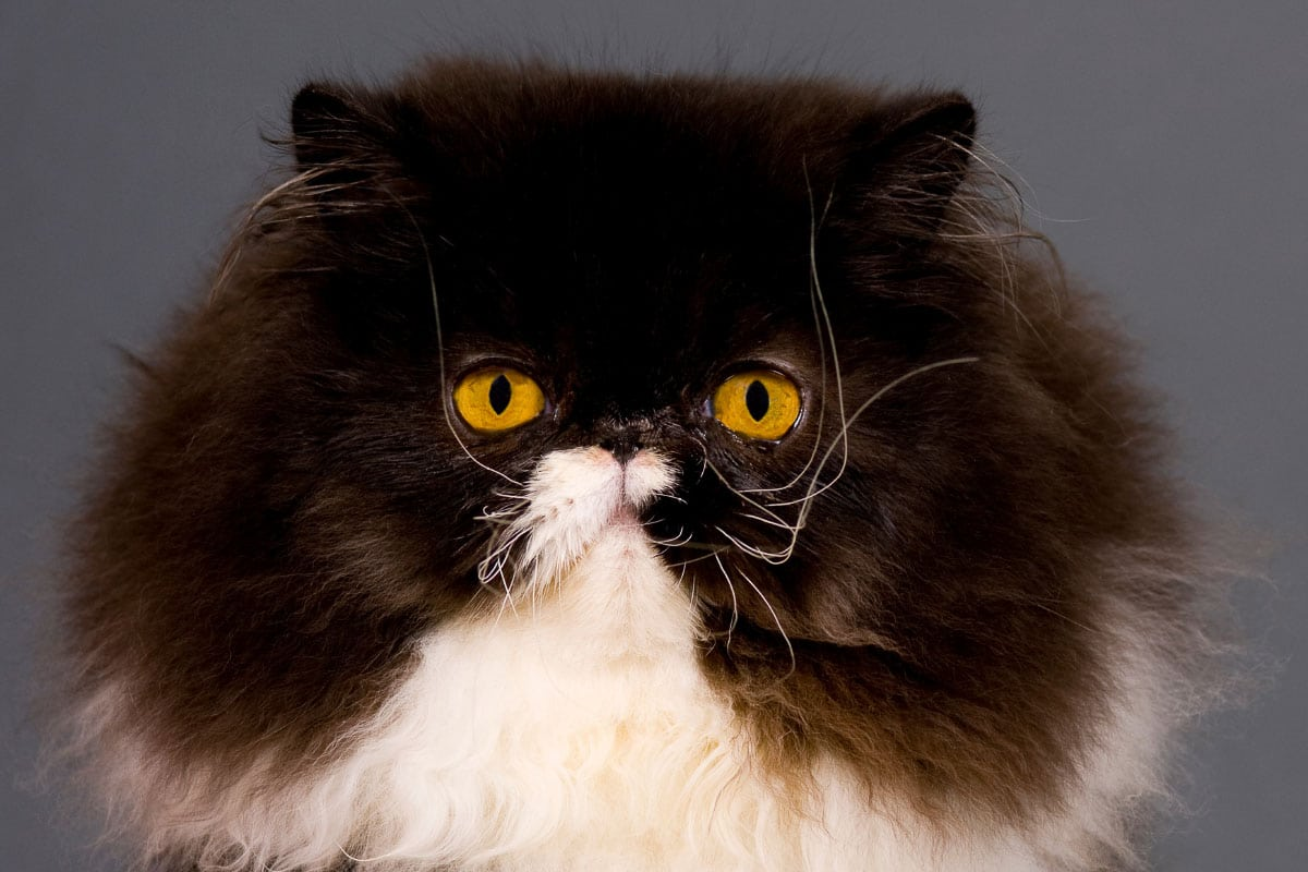 10 Tuxedo Cat Breeds: Is What they Say True?