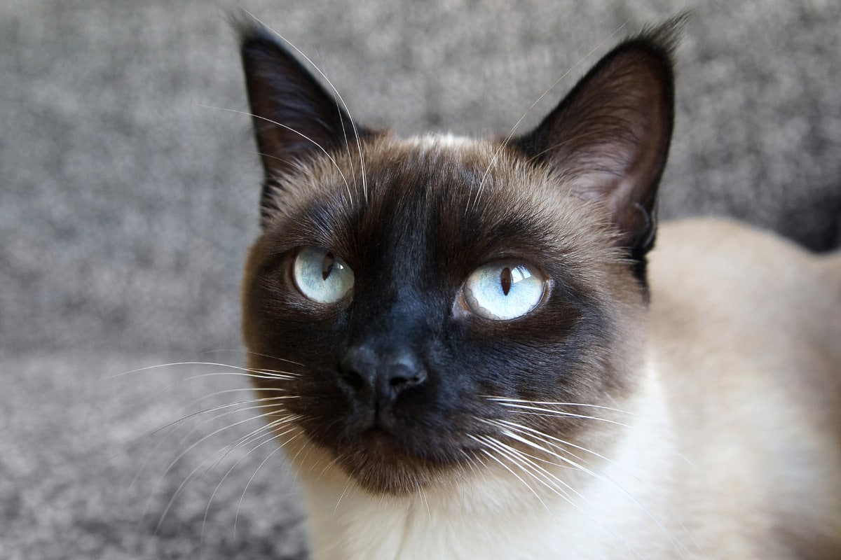 siamese cat close up