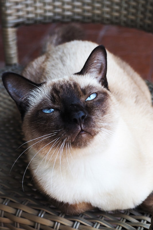 siamese cat looking up