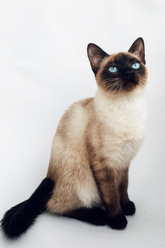 siamese cat looking upwards