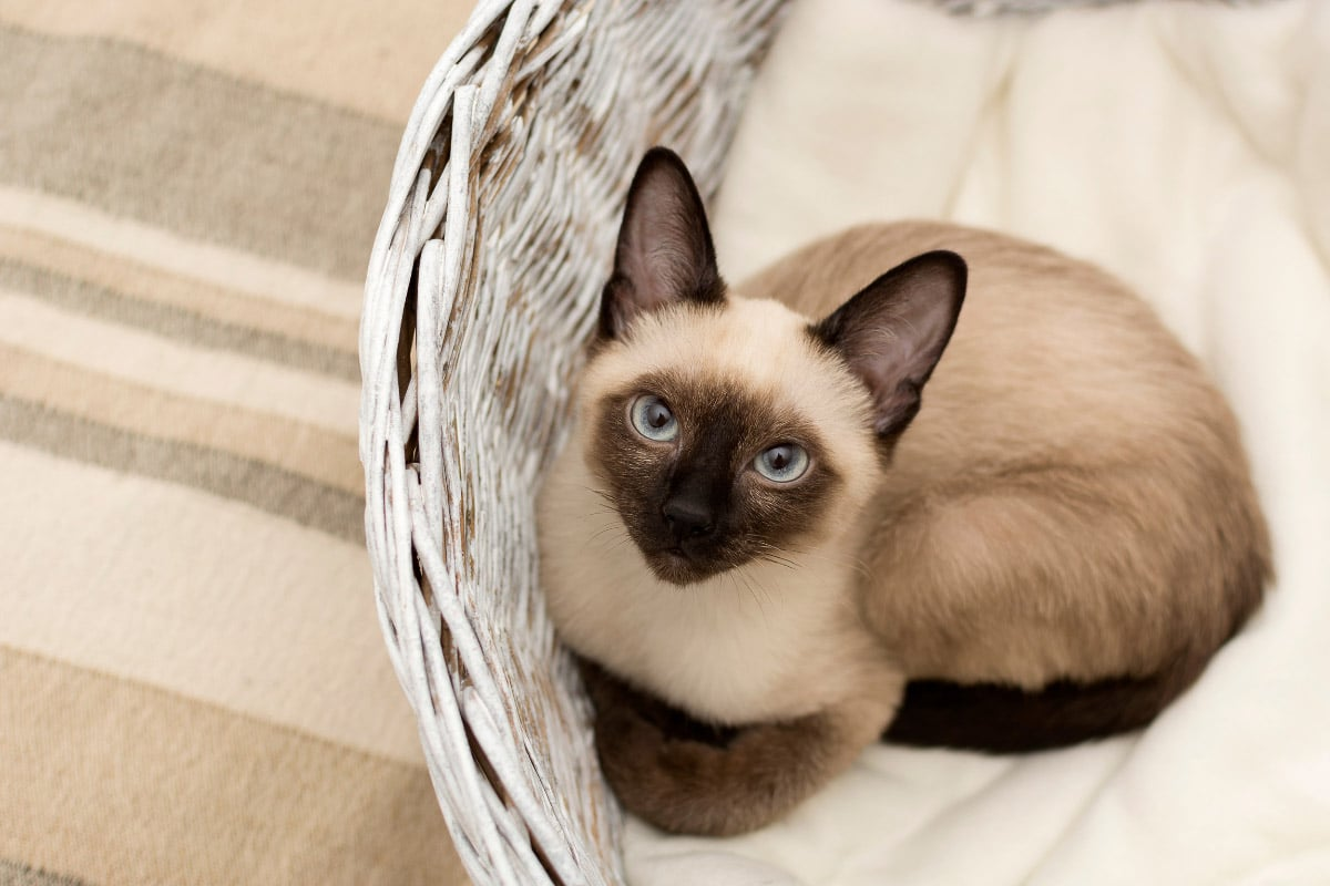 siamese cat on comfortable seat