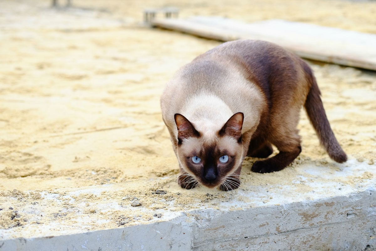 siamese cat on the prowl