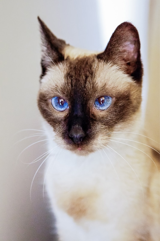 siamese cat with blue eyes portrait