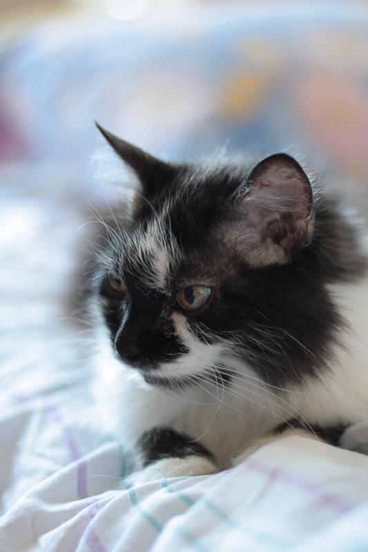 siberian cat black and white
