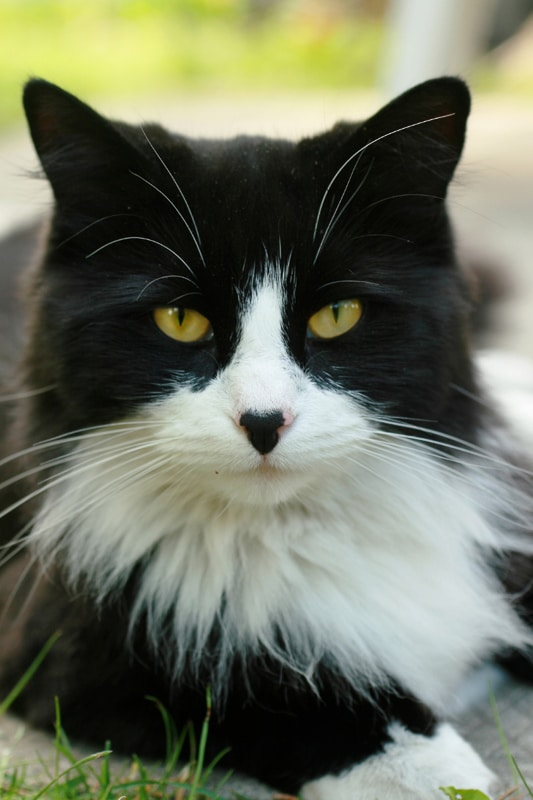 turkish angora black and white one of the tuxedo cat breeds