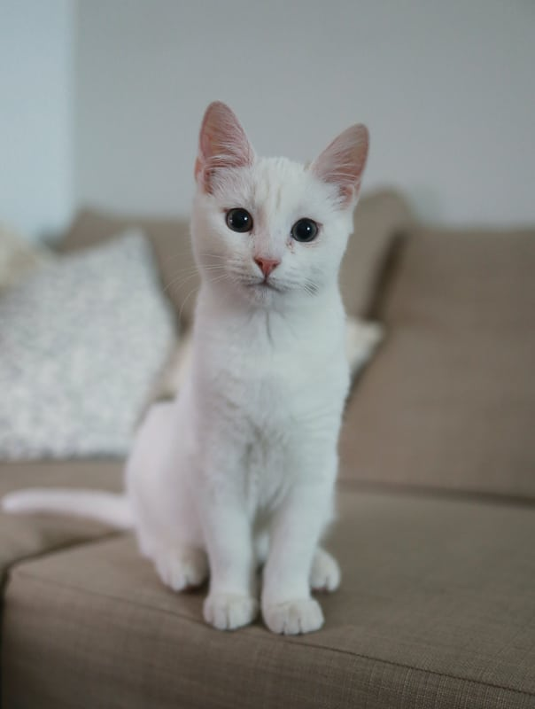 white cat perched on couch