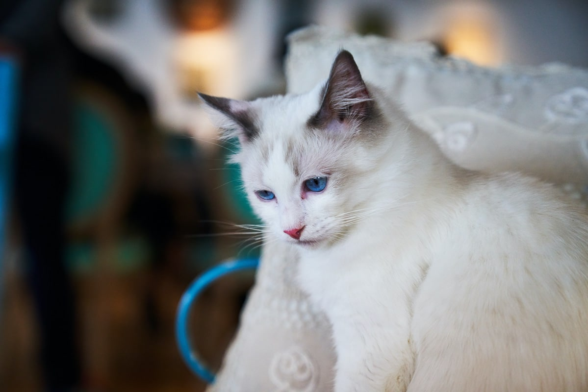 white cat with blue eyes and dark ears